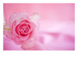Pink Rose Close Up Photo