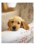 Golden Retriever Puppy Posters