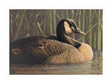 Close Up of Duck on Water Posters