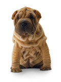 Brown Shar Pei Photo