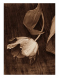 Sepia Tulip Photo