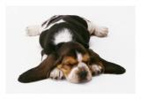 Basset Puppy Print