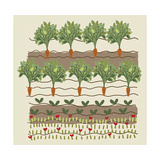 Rows of Carrots in Garden Prints