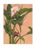 Pink Calla Lily Posters
