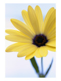 Yellow Gerber Daisy Photo