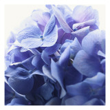 Blue Hydrangea Print