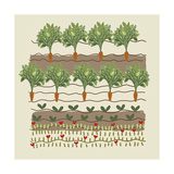 Rows of Vegetables in Garden Prints