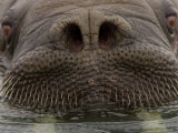 Close up of Young, Male Atlantic Walrus Photographic Print by Ralph Lee Hopkins