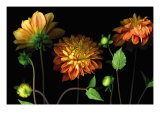 Orange Dahlia Garden Giclee Print by Pip Bloomfield