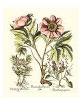 Framboise Floral II Lámina por Besler Basilius