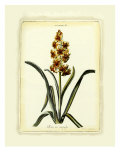 Hyacinth IX Giclee Print by Christoph Jacob Trew