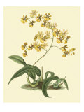 Antique Orchid Study I Giclee Print by Syndenham Edwards