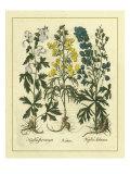 Besler Floral I Pósters por Besler Basilius