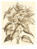Sepia Munting Foliage III Print by Abraham Munting