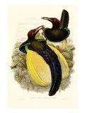 Gould Oiseau de paradis IV Reproduction procédé giclée par John Gould
