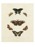 Butterflies III Posters by George Wolfgang Knorr