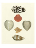 Knorr Shells III Prints by George Wolfgang Knorr