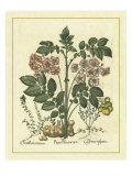Besler Floral V Póster por Besler Basilius
