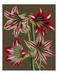 Lush Amaryllis II Gicl&#233;e-Druck von Van Houtt 