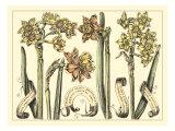 Narcissus Fine Art Print