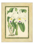 Fitch Orchid III Prints by J. Nugent Fitch