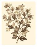 Sepia Munting Foliage I Poster by Abraham Munting
