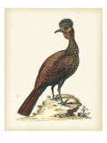 Regal Pheasants V Giclee Print by George Edwards