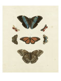 Butterflies IV Prints by George Wolfgang Knorr