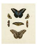 Butterflies I Print by George Wolfgang Knorr
