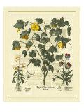 Besler Floral VI Print by Besler Basilius