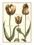 Tulipa II Giclee Print by Crispijn de Passe