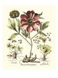 Framboise Floral I Print by Besler Basilius