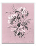Dussurgey Hydrangea on Pink Posters by  Dussurgey