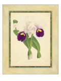 Fitch Orchid I Art by J. Nugent Fitch