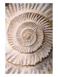 Ammonite II Reproduction proc&#233;d&#233; gicl&#233;e par Vision Studio 