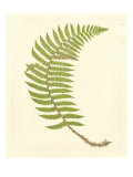 Broad Buckler Fern Prints
