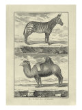 Zebra and Camel Posters by Denis Diderot