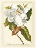 Magnificent Magnolias I Poster von Jacob Trew