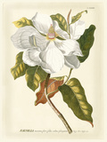 Magnificent Magnolias I Premium Giclee Print by Jacob Trew