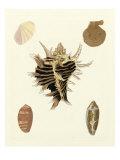 Knorr Shells II Posters by George Wolfgang Knorr