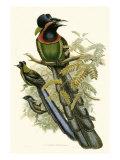 Gould: Paradiesvogel II Kunstdruck von John Gould