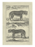 Panther and Leopard Giclee Print by Denis Diderot