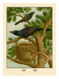 Purple Grackle Affiches