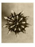 Sepia Botany Study IV Art by  Vision Studio