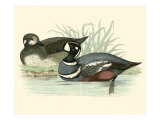 Morris Ducks IV Giclee Print by Reverend Francis O. Morris