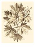 Sepia Munting Foliage V Kunstdrucke von Abraham Munting
