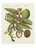 Walnut Print by  Bertuch