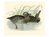 Morris Ducks II Giclee Print by Reverend Francis O. Morris