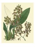 Antique Orchid Study III Giclee Print by Syndenham Edwards
