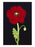 Red Poppy Giclee Print by Soraya Chemaly